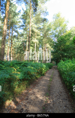 Track through a pine woodland in Thetford Forest, part of the Peddars Way long distance footpath. - Stock Photo