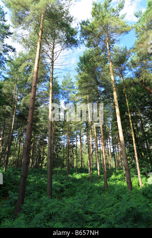 Pine woodland in Thetford Forest, Breckland distric,t Norfolk, England. - Stock Photo