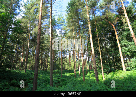 Pine woodland in Thetford Forest. Breckland district, Norfolk, England. - Stock Photo
