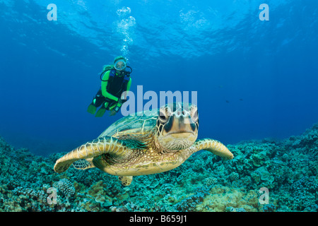 Green Turtle and Diver Chelonia mydas Maui Hawaii USA - Stock Photo