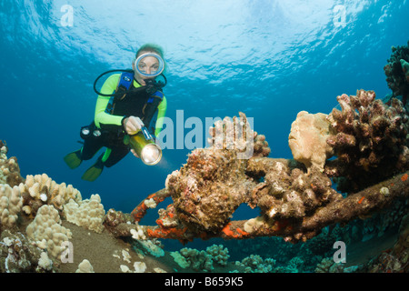 Frogfishes and Diver Antennarius commersonii Maui Hawaii USA - Stock Photo