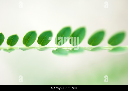 Green leaves growing in a row on branch, close-up - Stock Photo