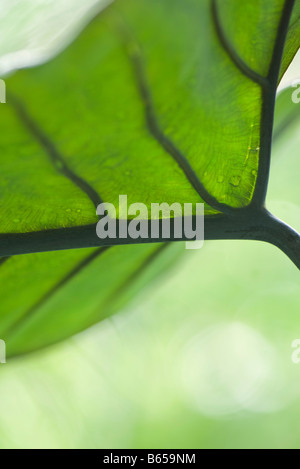 Underside of leaf and veins, close-up - Stock Photo