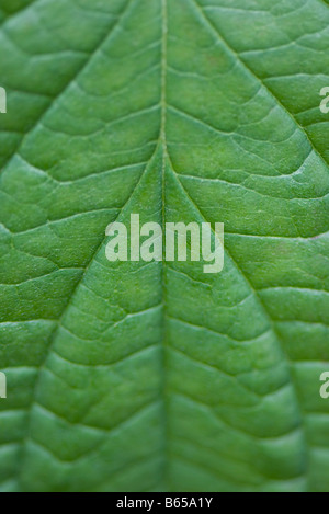 Green leaf, extreme close-up - Stock Photo