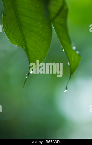 Raindrops on leaves, close-up - Stock Photo