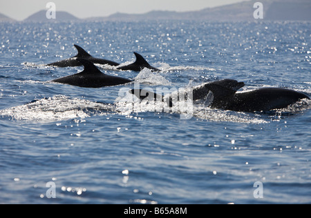 Bottlenose Dolphins Tursiops truncatus Azores Atlantic Ocean Portugal - Stock Photo
