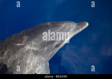 Bottlenose Dolphin Tursiops truncatus Azores Atlantic Ocean Portugal - Stock Photo