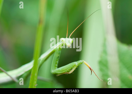 Praying Mantis partially concealed by greenery - Stock Photo