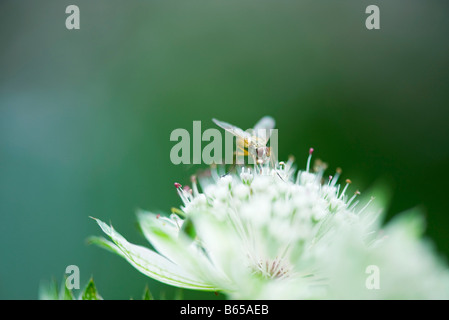 Maggot fly (tachinid) perched on white flower - Stock Photo