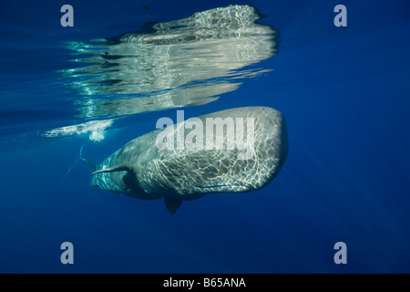 Sperm Whale Physeter catodon Azores Atlantic Ocean Portugal - Stock Photo