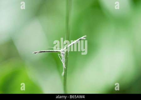 Plume moth (stenoptilia pterodactyla) perched on stem of plant - Stock Photo