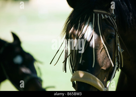 Horse wearing harness, close-up - Stock Photo
