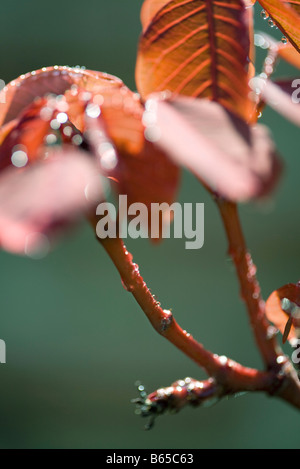 New leaves, budding branch, close-up - Stock Photo