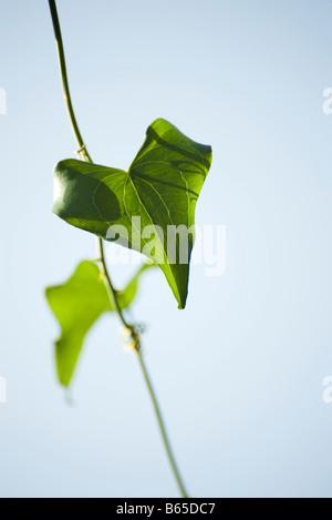 Heart-shaped leaf - Stock Photo