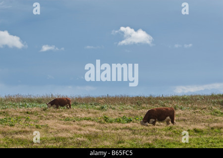 Two cows in an open field, set against a clear blue sky. - Stock Photo