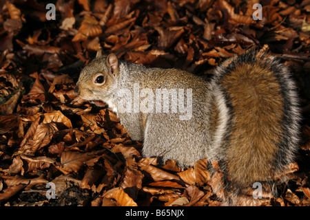 Grey squirrel (sciurus carolinensis) foraging amongst the beech leaves on the forest floor.  Taken in November. - Stock Photo