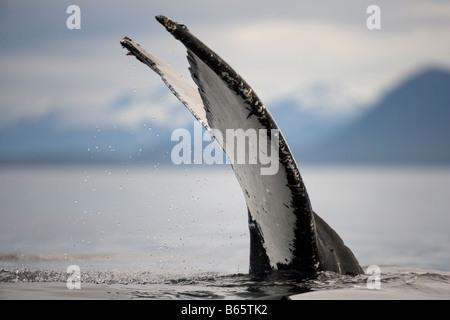 USA Alaska Humpback Whale Megaptera novaengliae lifts tail while sounding in Frederick Sound - Stock Photo