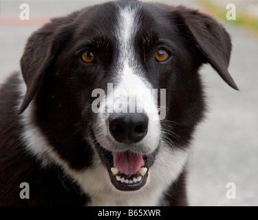 Happy dog Border Collie dog smiling at the camera. - Stock Photo