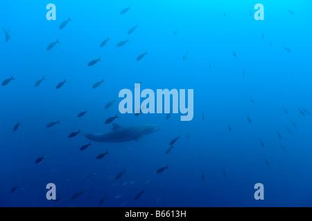 Ecuador Galapagos Islands Darwin Island Underwater view of Pacific Bottlenose Dolphin Tursiops truncatus - Stock Photo