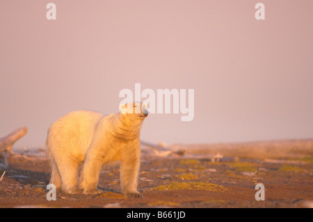 polar bear Ursus maritimus male walking on a barrier island at sunset Bernard Spit Arctic National Wildlife Refuge - Stock Photo