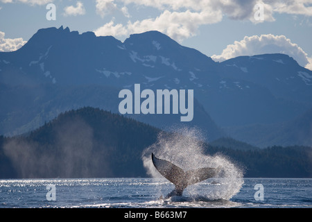 USA Alaska Angoon Humpback Whale Megaptera novaengliae slapping tail in Chatham Strait on summer afternoon - Stock Photo