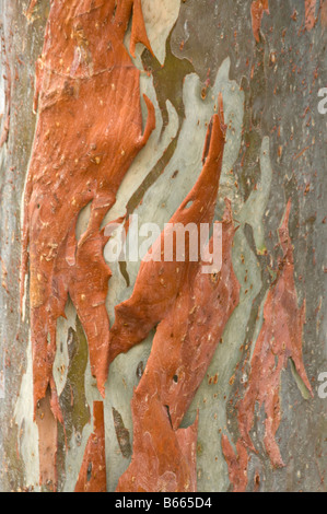 Rainbow Eucalyptus (Eucalyptus deglupta) bark close up George Brown Botanic Gardens Darwin Northern Territory Australia - Stock Photo