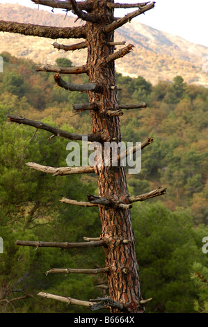 maritime pine pinus pinaster tree burned damaged environment aftermath silvaculture - Stock Photo