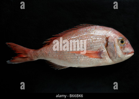A red porgy (Pagrus pagrus) also known as red or common seabream, a species of fish in the Sparidae family. - Stock Photo