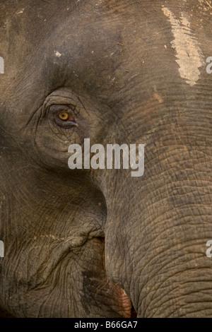 Bornean Pygmy Elephant (Elephas maximus borneensis) - Kinabatangang River, Sabah, Borneo, Malaysia - Stock Photo