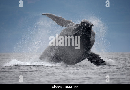 USA Alaska Angoon Humpback Whale Megaptera novaengliae breaching in Chatham Strait on summer afternoon - Stock Photo