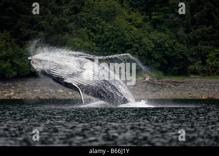 USA Alaska Angoon Humpback Whale Megaptera novaengliae breaching in Chatham Strait on summer evening - Stock Photo