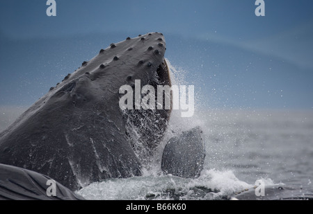 USA Alaska Hoonah Close up of Humpback Whale Megaptera novaengliae lunging from water while bubble net feeding - Stock Photo