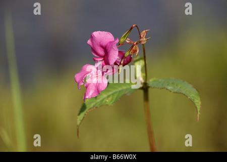 Himalayan Balsam Impatiens glandulifera by River Tay near Perth Perthshire