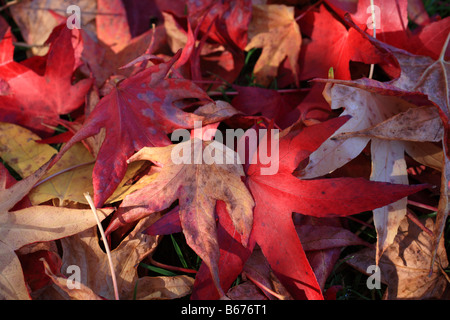 'Red autumn leaves' fallen acer leaves lying on the ground - Stock Photo