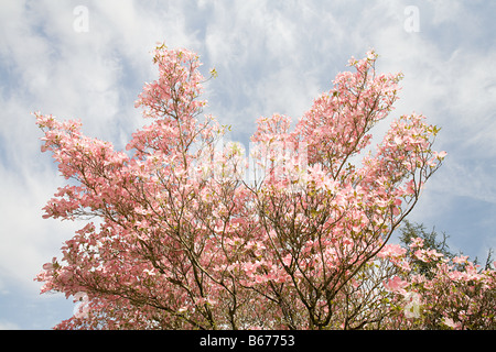 Dogwood tree with blossom on it - Stock Photo