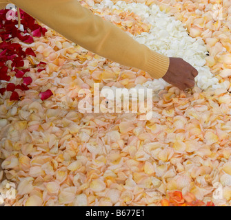 Decorating street with rose petals during Corpus Christi celebrations in La Laguna on Tenerife in The Canary Islands - Stock Photo