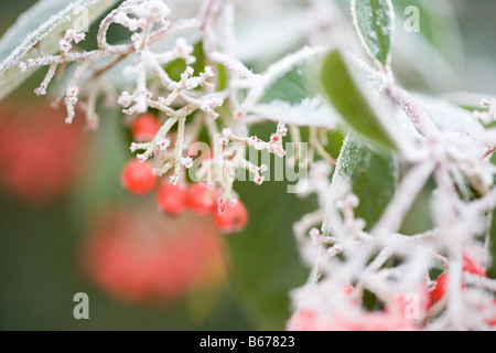 Frost covered berries - Stock Photo