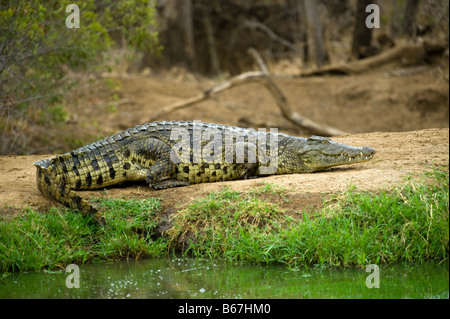 wildlife wild Nile Crocodile crocodylus niloticus lying sleeping sleep out of water waterhole south-Afrika south - Stock Photo