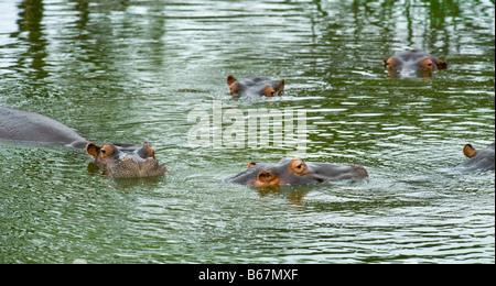 wildlife wild Hippo 5 five HIPPOPOTAMUS amphibious in water waterhole south-Afrika south africa bath bathing panorama - Stock Photo