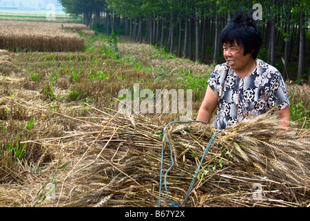 Mature woman standing with a bundle of wheat in a field, Zhigou, Shandong Province, China - Stock Photo