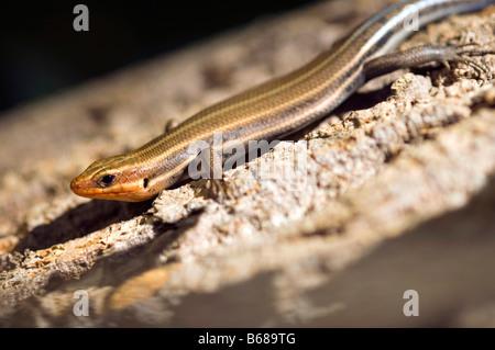 Lizard on a tree Eumeces fasciatus five lined skink - Stock Photo