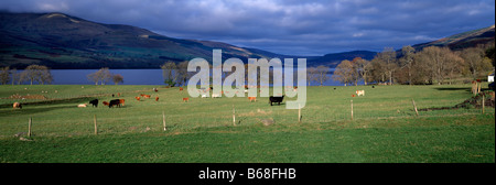 Panoramic Autumn landscape over Loch Tay, Tayside, Perthshire, Scotland showing cattle grazing in fields in foreground. - Stock Photo