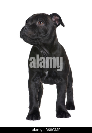 puppy Staffordshire Bull Terrier 2 months in front of a white background - Stock Photo