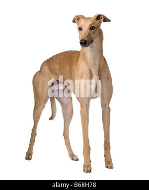 Greyhound 17 months in front of a white background - Stock Photo