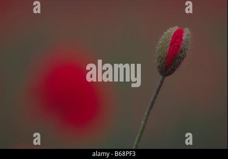 Blooming poppy portrait - Stock Photo