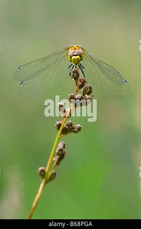 Spotted Darter Sympetrum depressiusculum  Sumpf Heidelibelle - Stock Photo