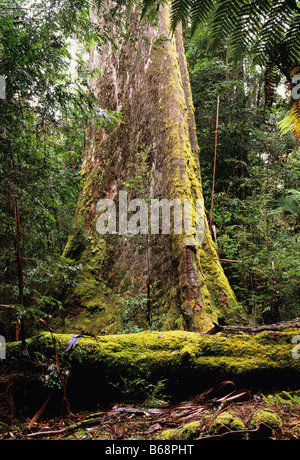 Swamp Gum Eucalyptus regnans Photographed in Styx Valley Tasmania, Australia - Stock Photo