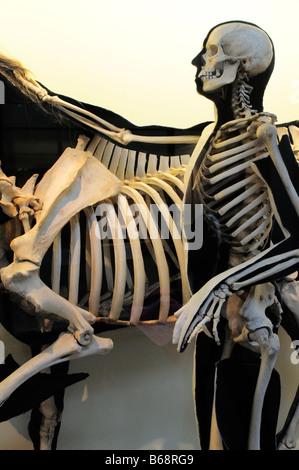 Natural History Museum Human and horse skeleton South Kensington SW7 London