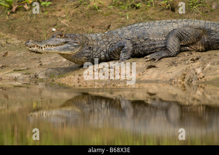 COMMON, WHITE or SPECTACLED CAIMAN Caiman crocodilus - Stock Photo