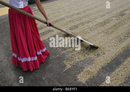 Costa Rica coffee beans being raked while drying in the sun by a woman in Costa Rica - Stock Photo